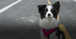 Border collie puppy in Fuchsia VOYAGER Step-In Flex on road