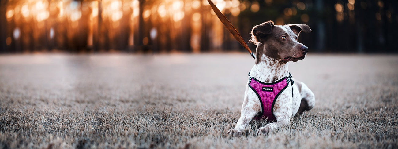 Best Dog Harness For Dog Owners in Rwanda