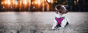 Dog in Fuchsia VOYAGER Step-In Flex Harness in woods during sunset