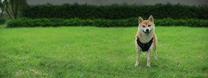 Shiba dog standing in Black VOYAGER Dual-Attachment harness on lawn