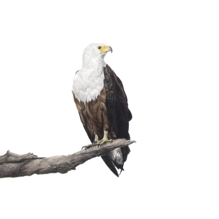 African Fish Eagle - On Canvas