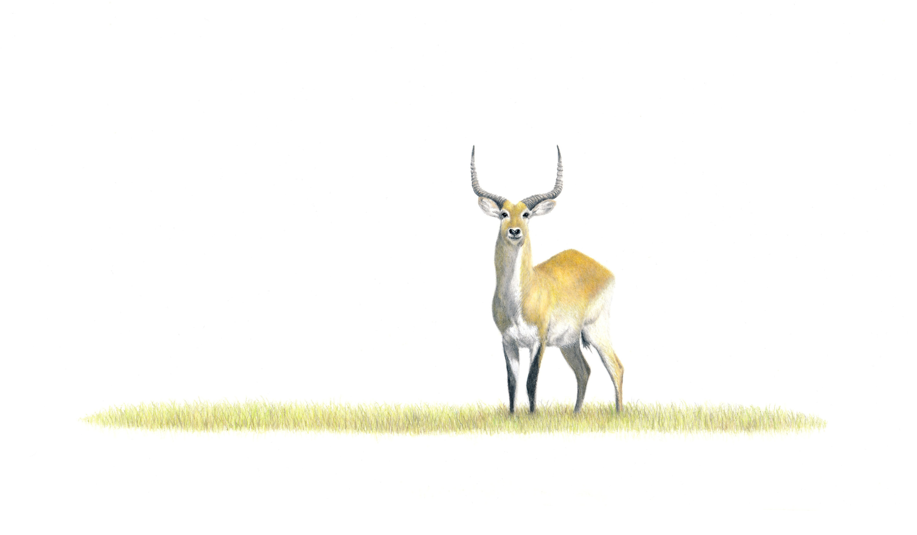 Red Lechwe - On Canvas