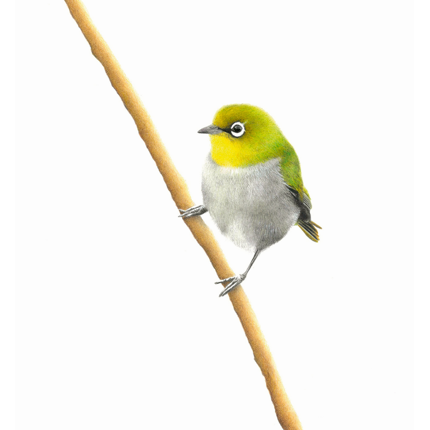 Cape White Eye - On Canvas