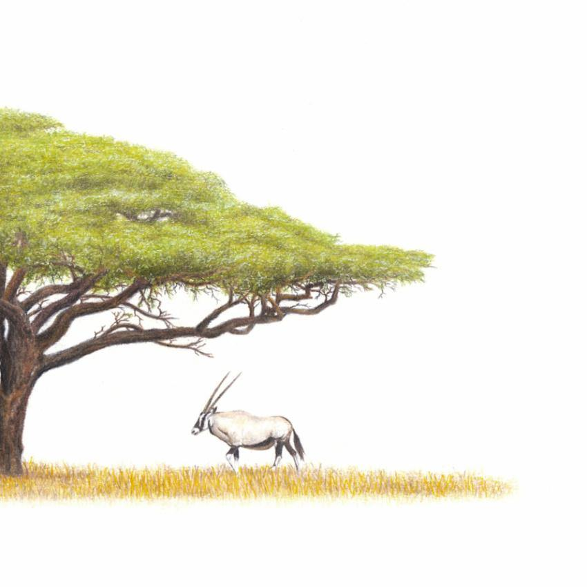 Gemsbok Under Acacia Tree (AT2)
