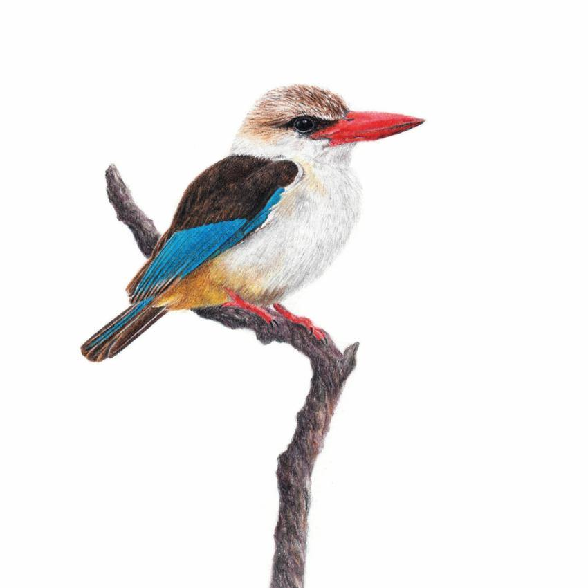 Brown Hooded Kingfisher (BHK)
