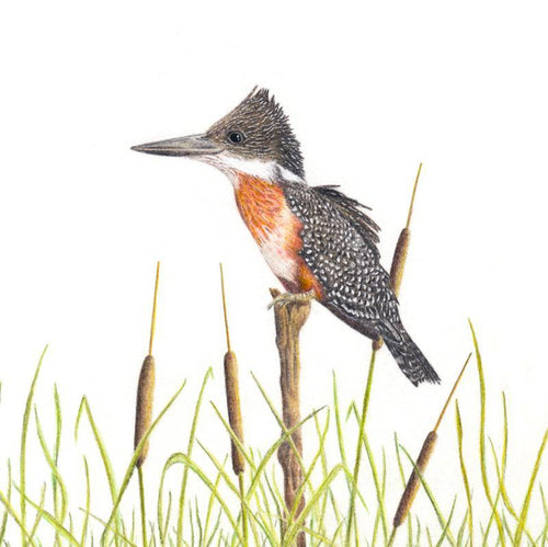 Giant Kingfisher (GKF)