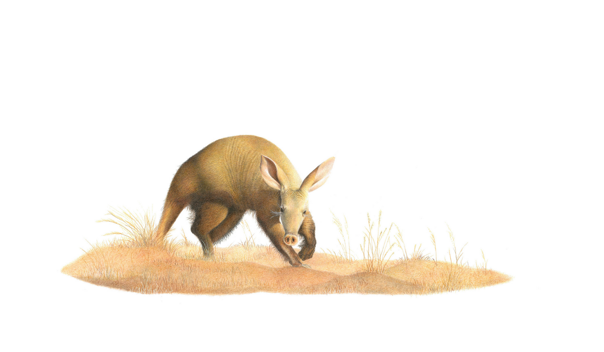 Aardvark - On Canvas