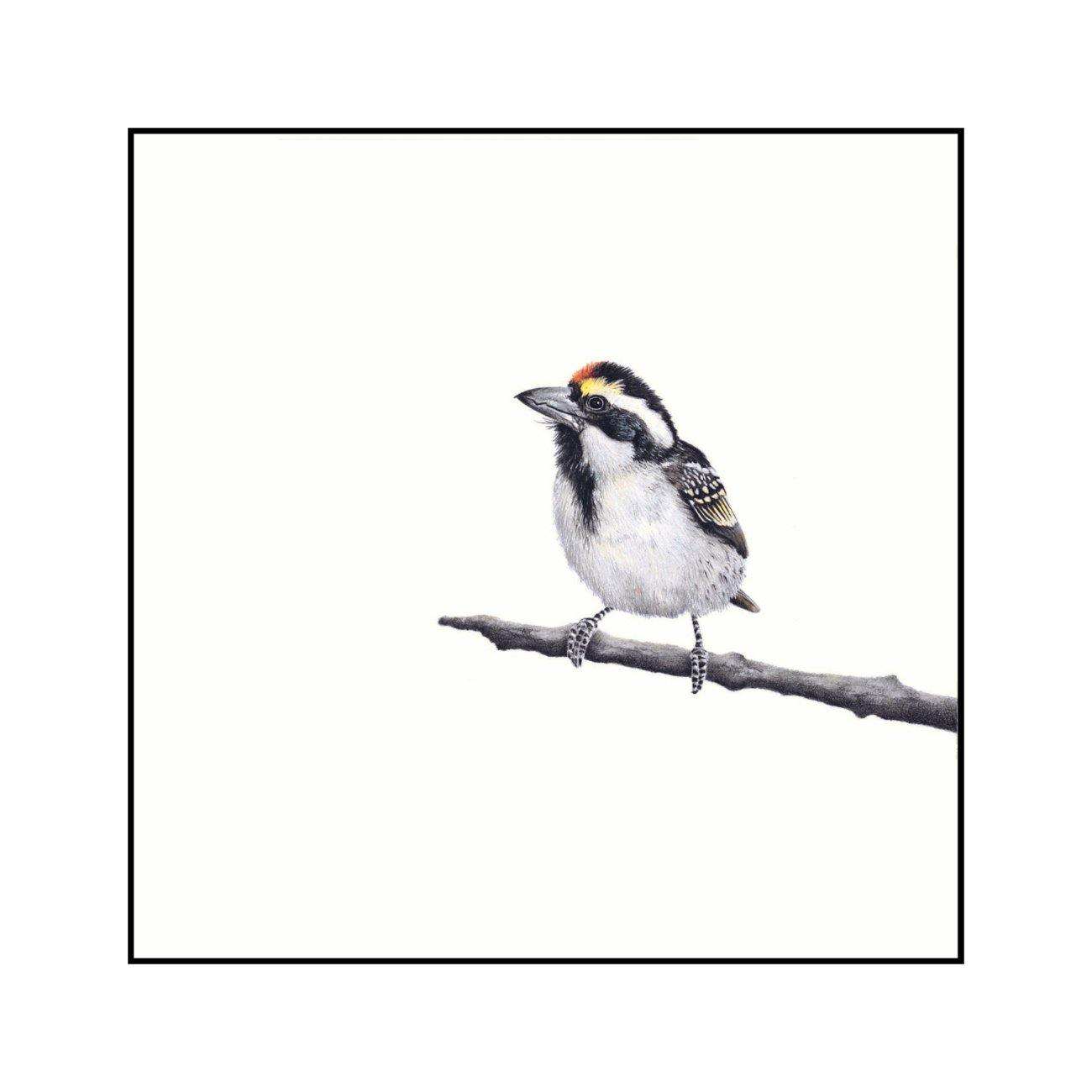 Acacia Pied Barbet - The Original