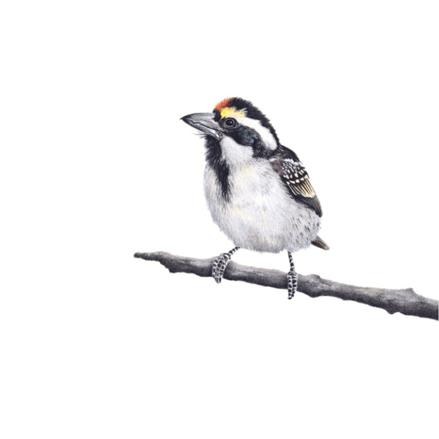 Acacia Pied Barbet - On Canvas