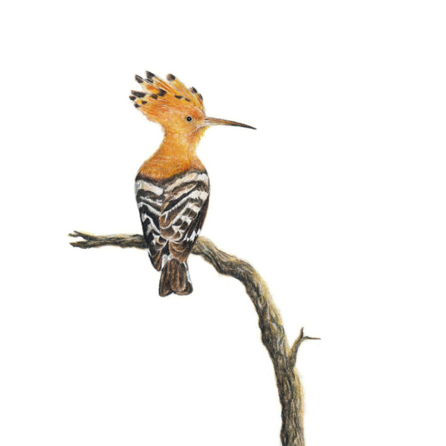 African Hoopoe - On Canvas