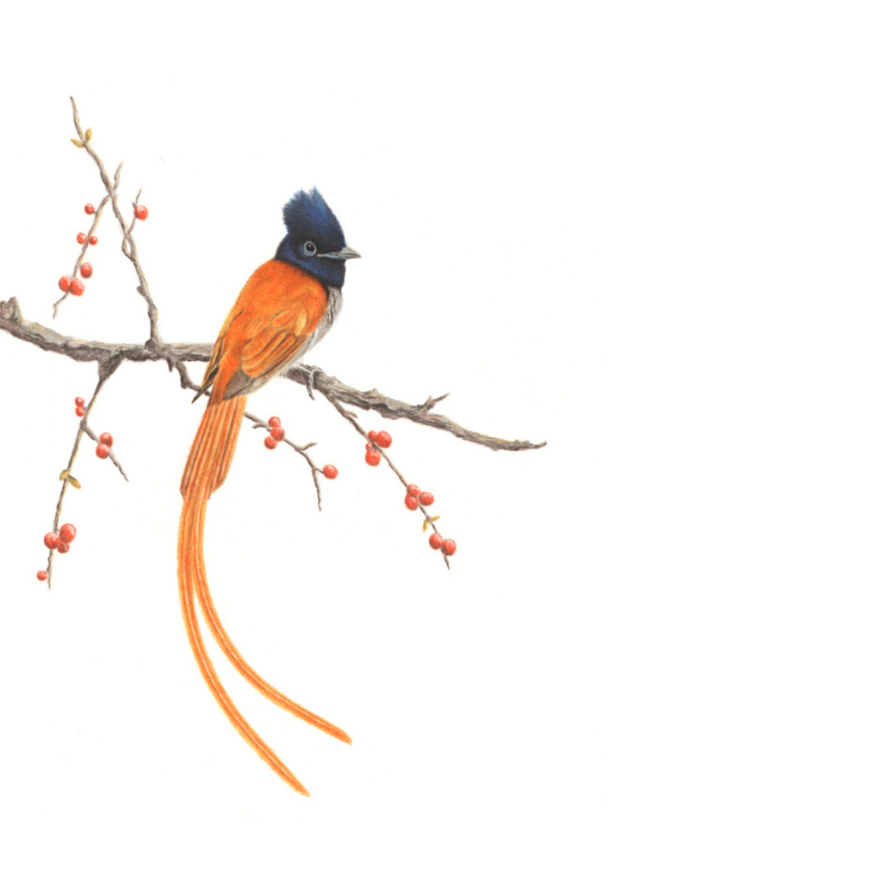 African Paradise Flycatcher - On Canvas