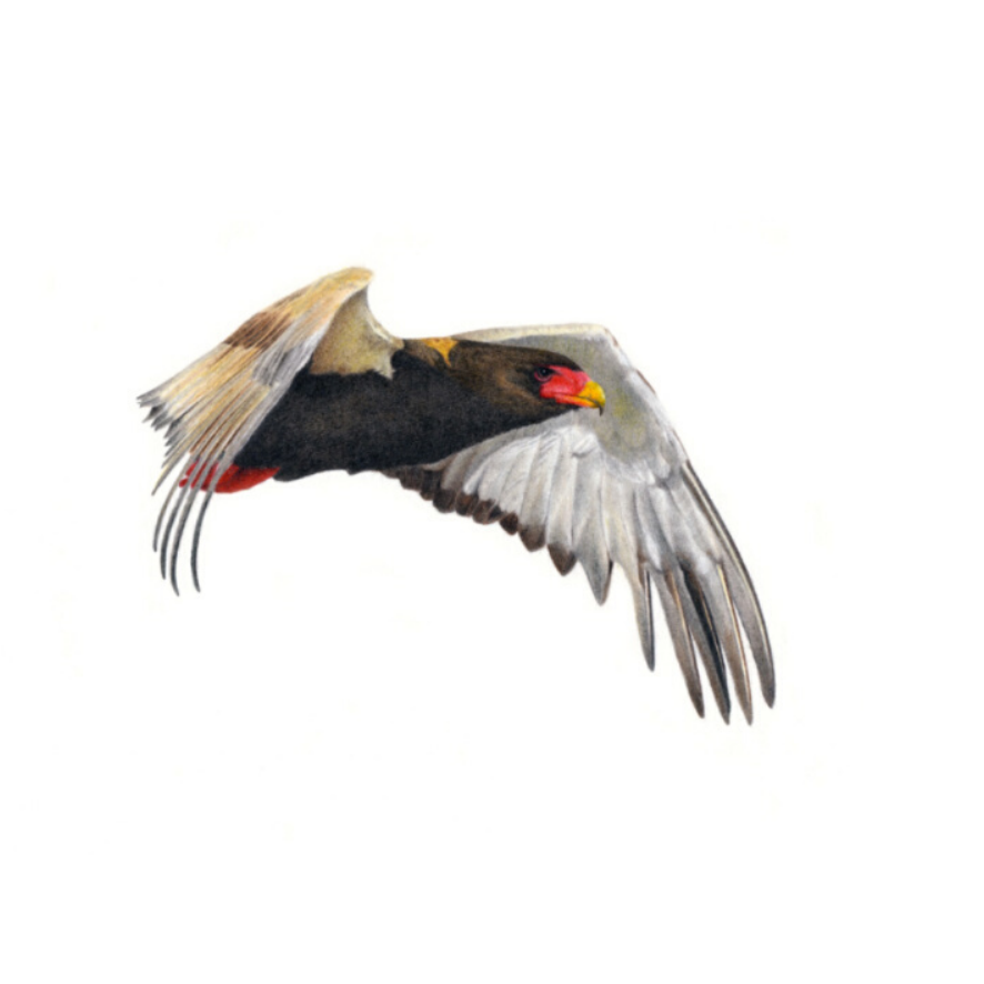 Bateleur Eagle - On Canvas
