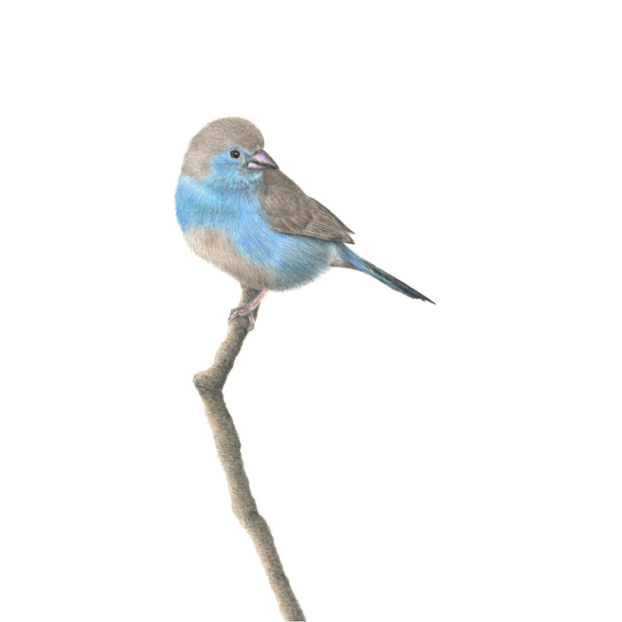 Blue Waxbill - On Canvas
