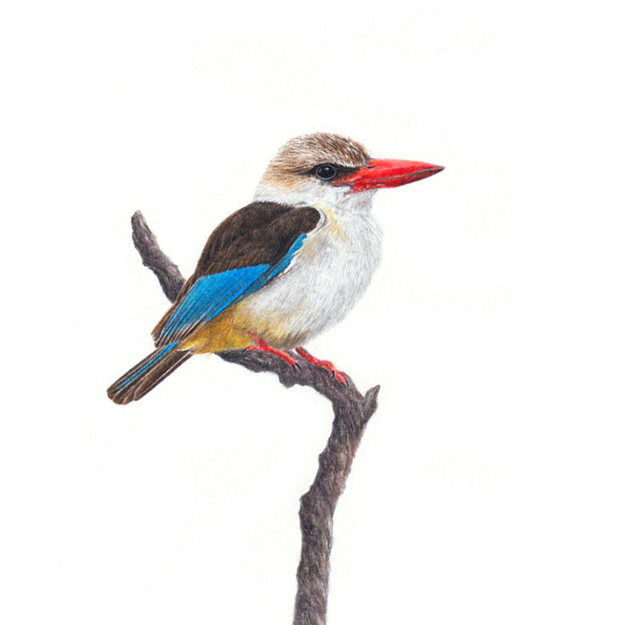 Brown Hooded Kingfisher - On Canvas