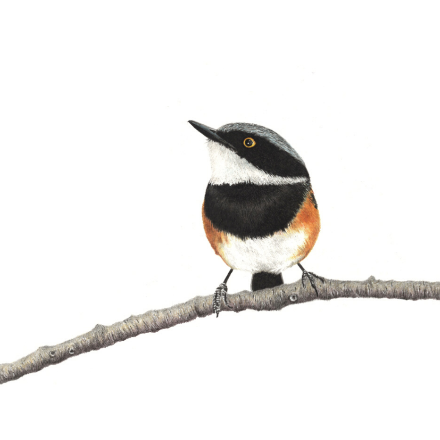 Cape Batis - On Canvas