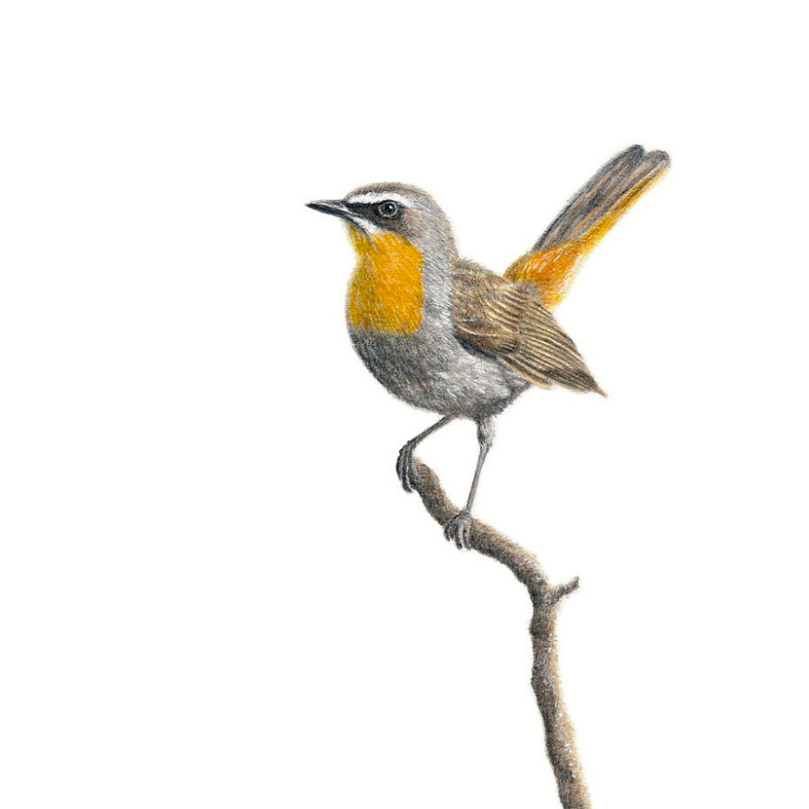 Cape Robin Chat - On Canvas