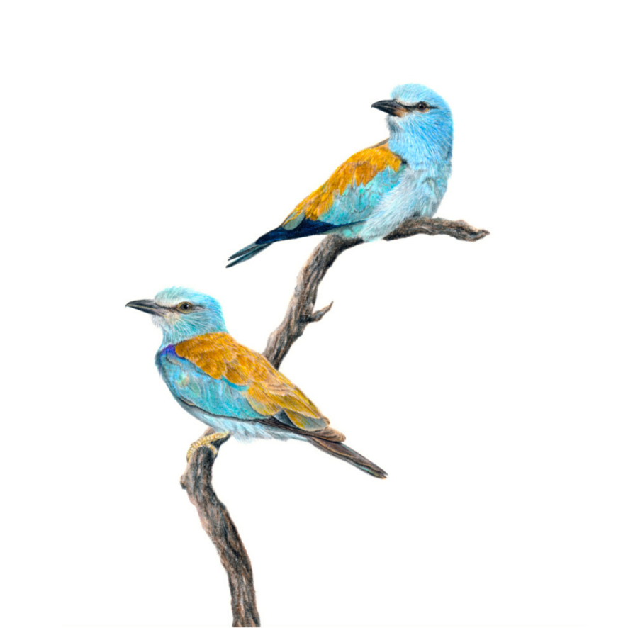 European Rollers - On Canvas