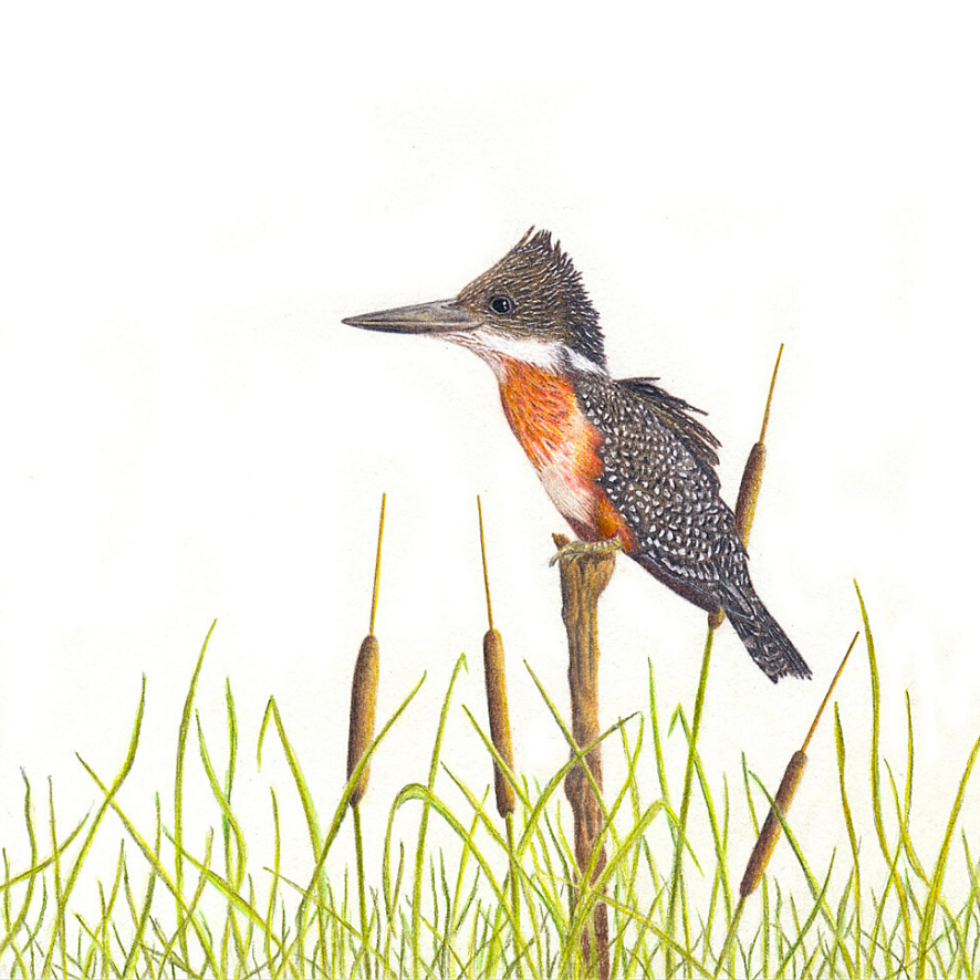 Giant Kingfisher - On Canvas