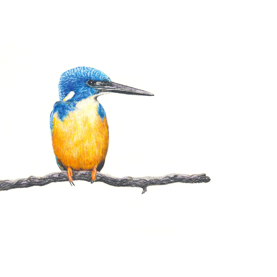 Half Collared Kingfisher - On Canvas