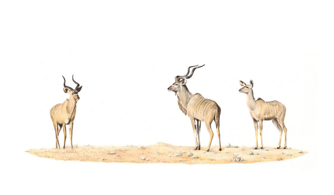 Kudus - On Canvas