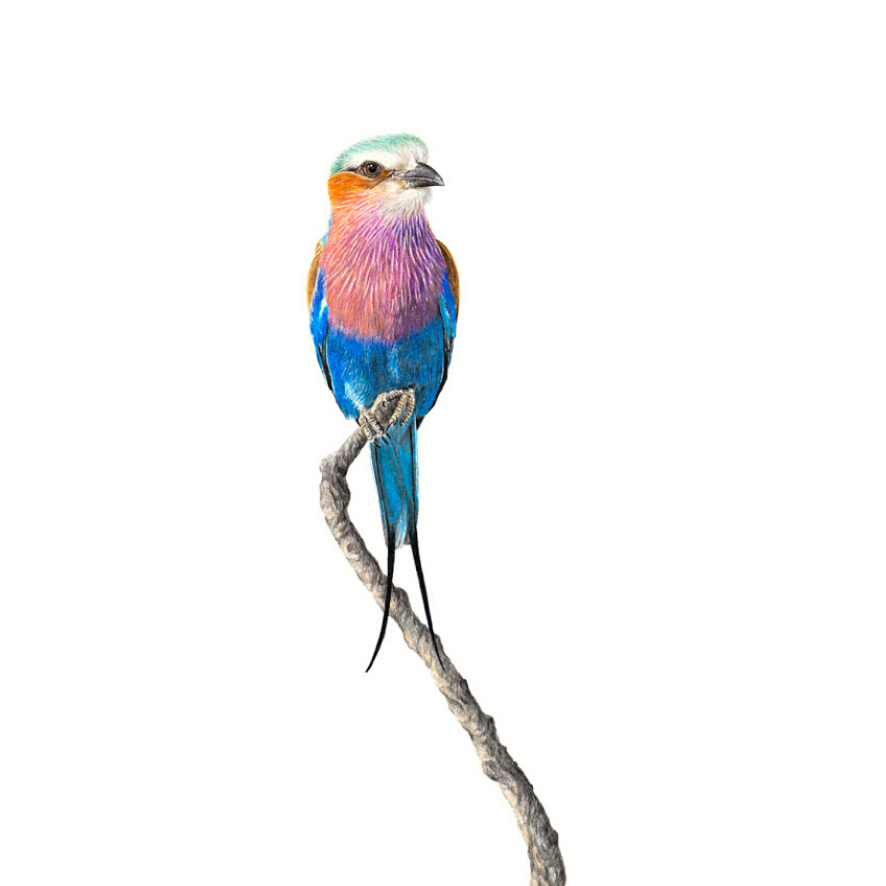 Lilac Breasted Roller - On Canvas