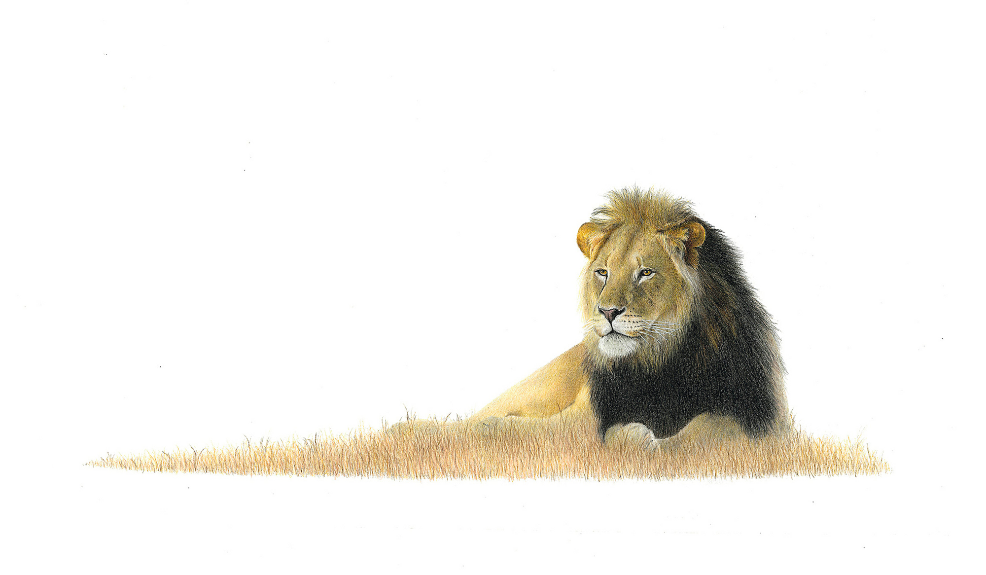 Male Lion - On Canvas