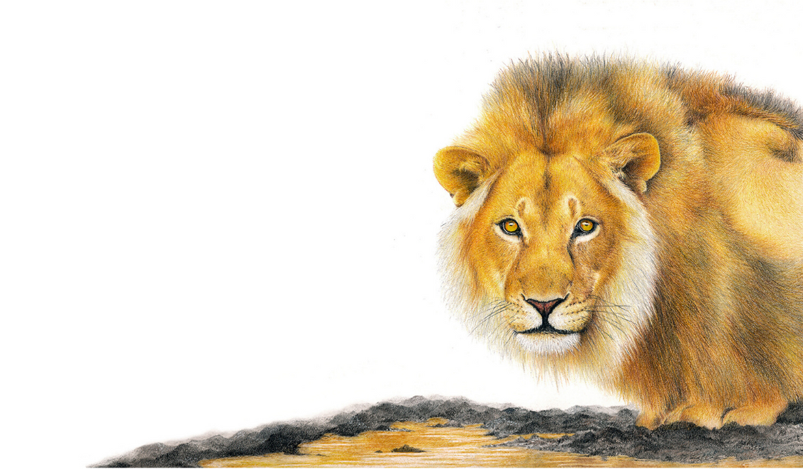 Male Lion Drinking - On Canvas