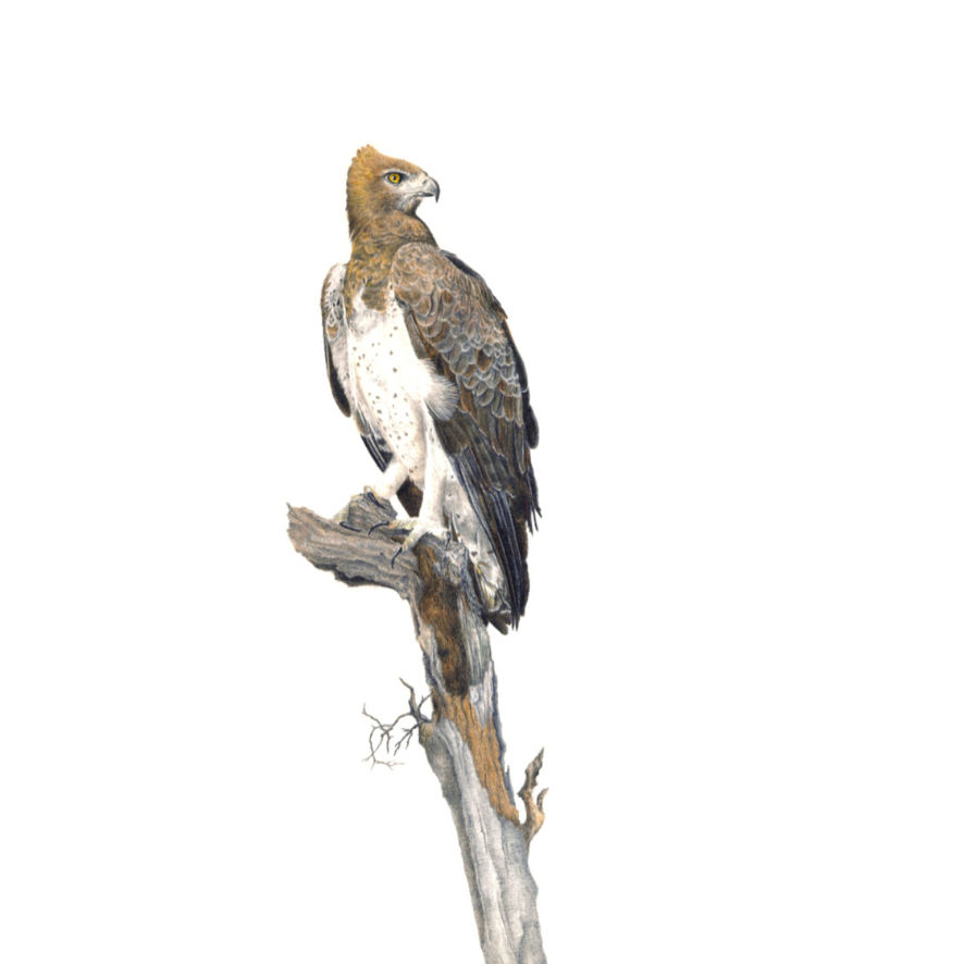 Martial Eagle - On Canvas