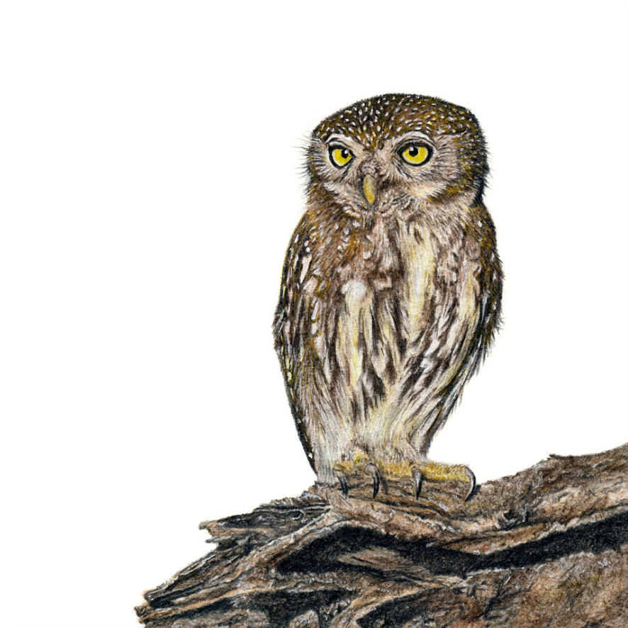 Pearl Spotted Owlet - On Canvas