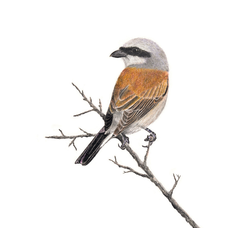 Red Backed Shrike - On Canvas