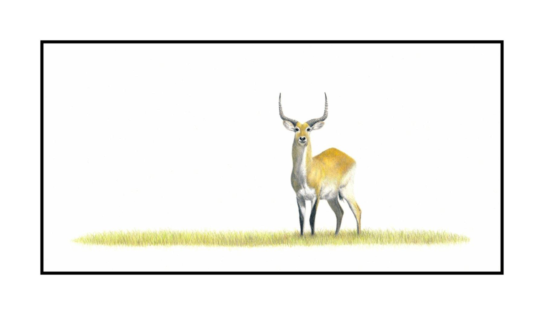 Red Lechwe - The Original - Framed - 39cm x 27cm