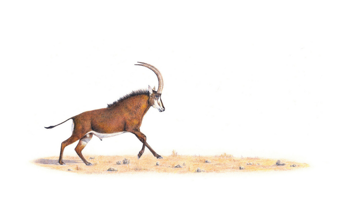 Sable Antelope - On Canvas