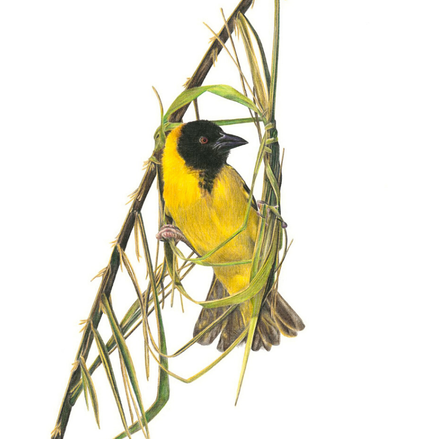 Southern Masked Weaver - On Canvas