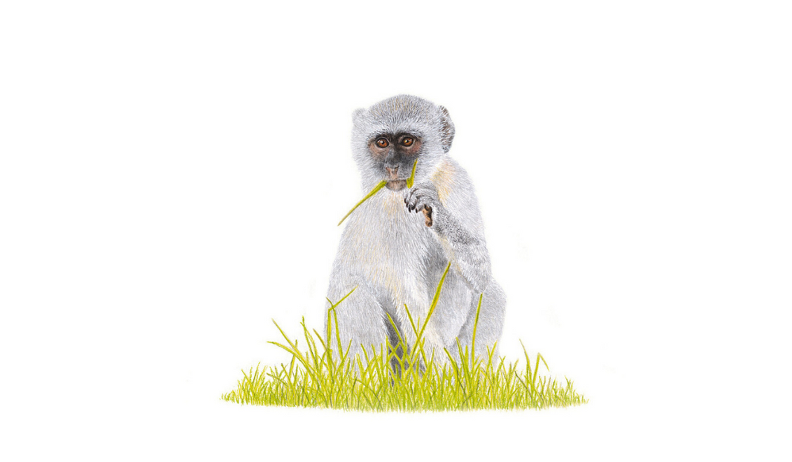 Vervet Monkey - On Canvas