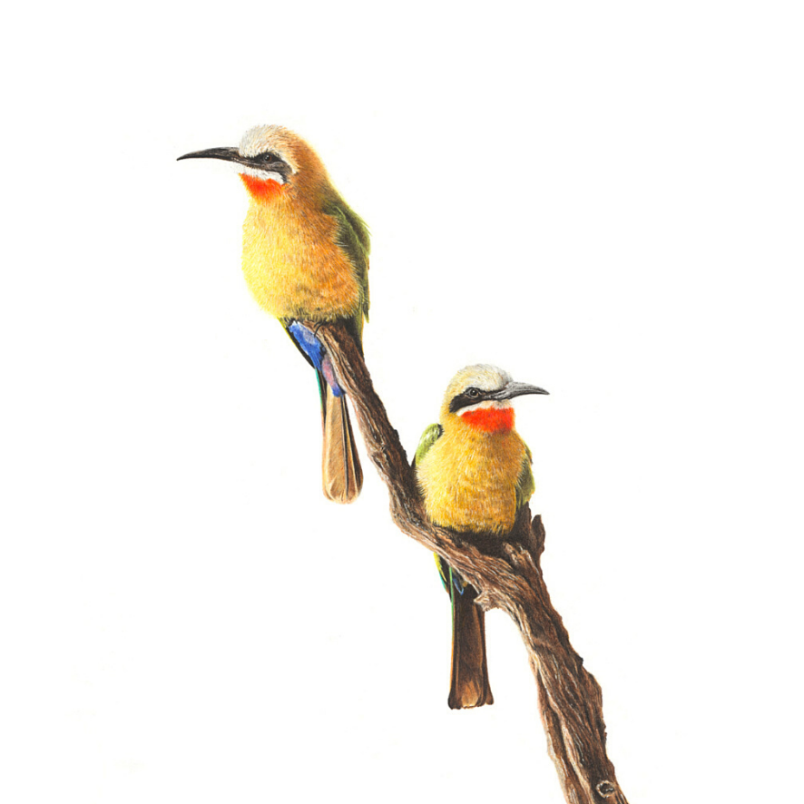 White Fronted Bee Eaters - On Canvas