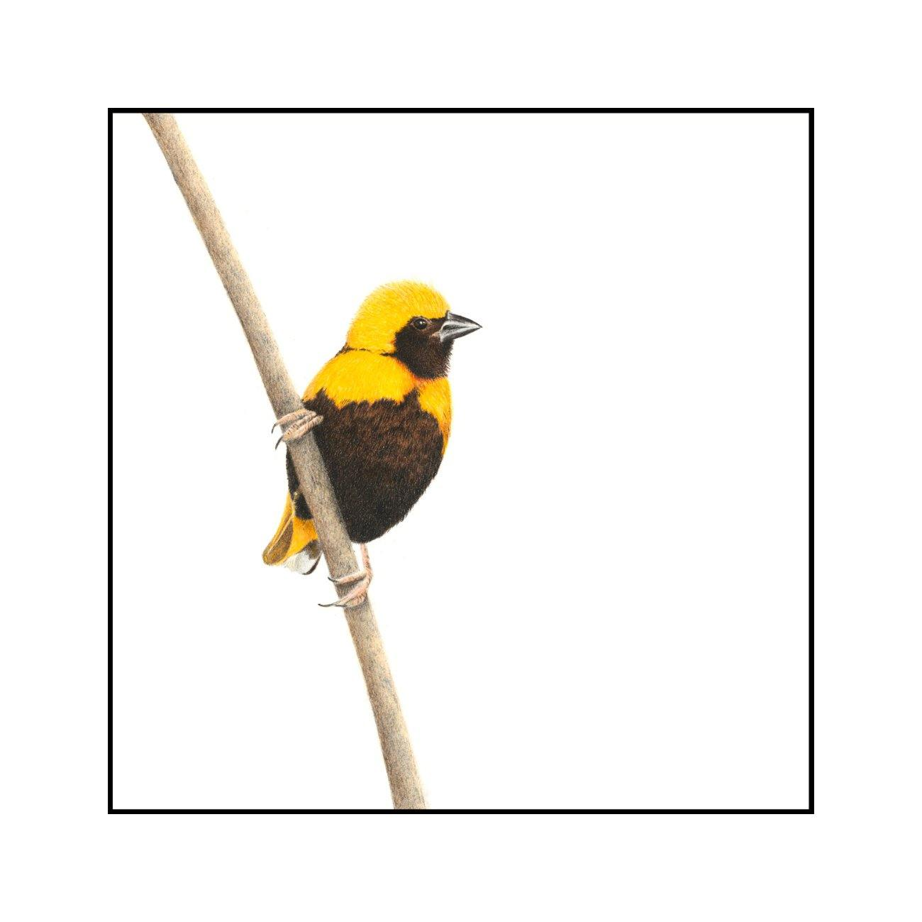 Yellow Crowned Bishop - The Original - Framed - 27 x 27cm