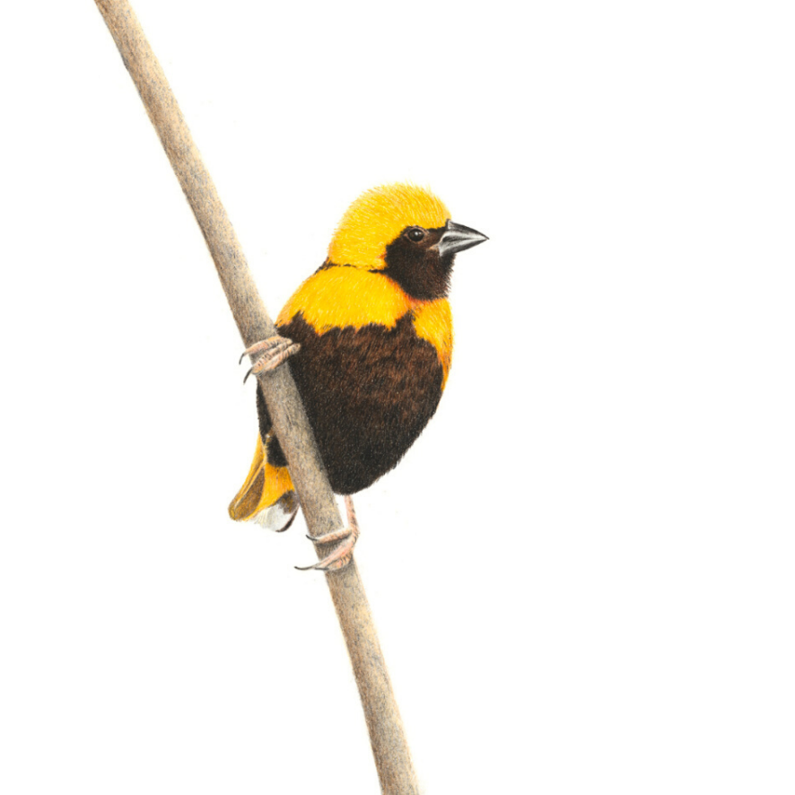 Yellow Crowned Bishop - On Canvas