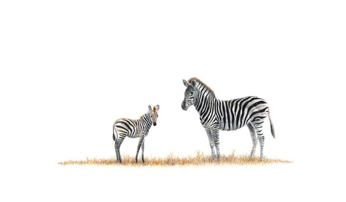 Mother And Baby Zebra - On Canvas