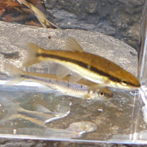 Two similar-looking minnow species inside theTenkaraBum 3x5 Photo Tank.
