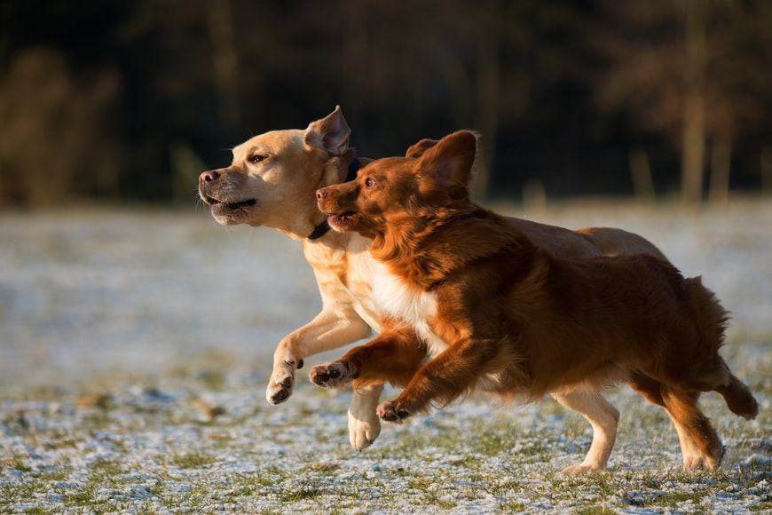 Two dogs running side by side outside