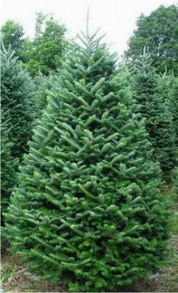 Fraser Fir Christmas Trees 2020