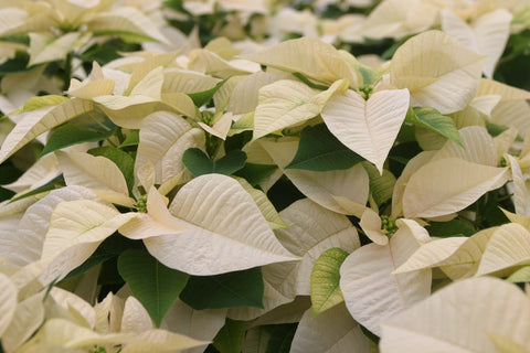 Poinsettias, White