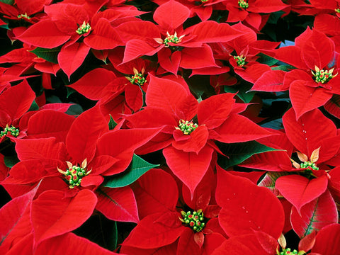 Poinsettias, Red