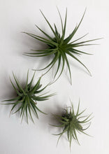 Load image into Gallery viewer, Mini Air plant