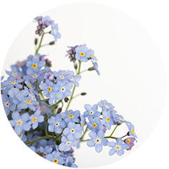 Forget-me-not flowers photo close up