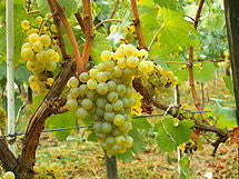 Australian Chardonnay grape concentrate