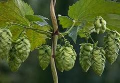 N.Z. WILLIAMETE whole hop cones