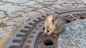 Firefighters just helped a rat having a VERY bad day!