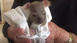 This tiny koala baby's survival relies on one very unique meal