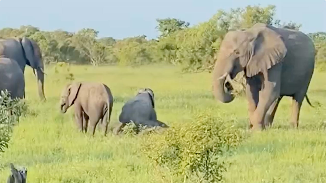 These baby elephants wrestling is everything